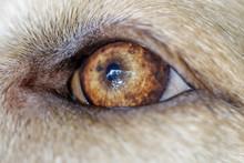 Labrador Retriever Young Male ...