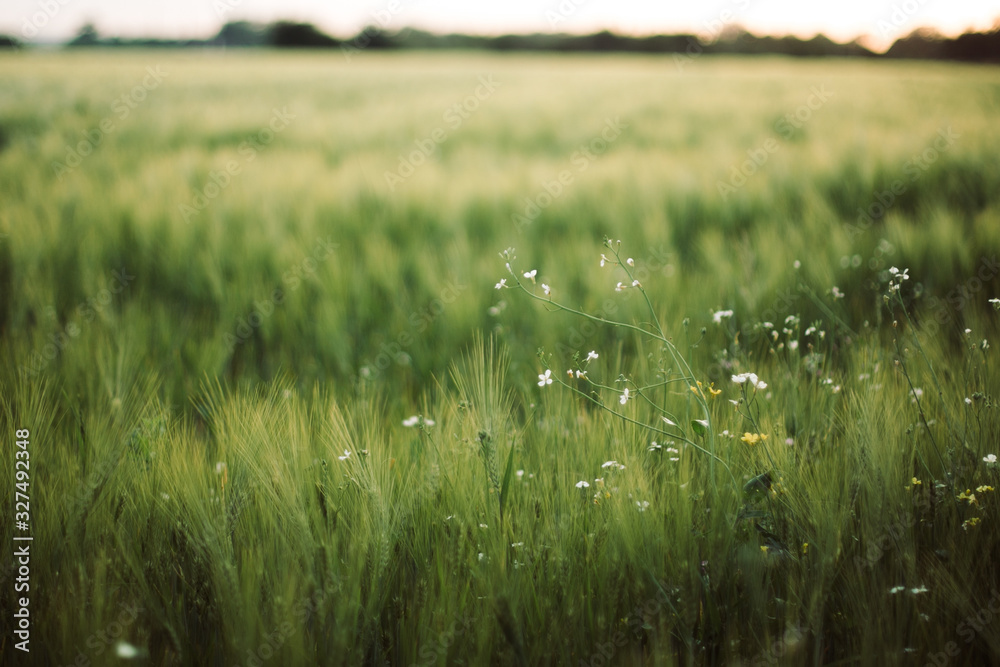 Fototapeta Wild radish white flowers among barley green stems in sunset light in summer field, closeup. Wildflowers and rye or wheat selective focus in warm light, summer in countryside. Organic farm