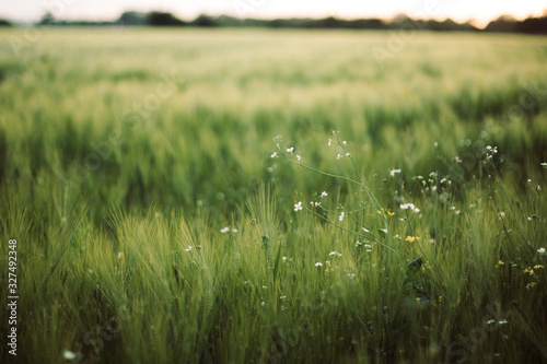 Obraz Wild radish white flowers among barley green stems in sunset light in summer field, closeup. Wildflowers and rye or wheat selective focus in warm light, summer in countryside. Organic farm - fototapety do salonu