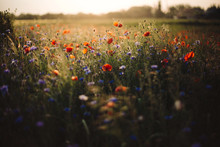 Poppy And Cornflowers In Sunse...
