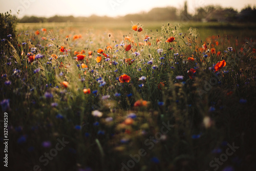 Poppy and cornflowers in sunset light in summer meadow. Atmospheric beautiful moment. Copy space. Wildflowers in warm light, flowers in countryside. Rural simple life - 327492539