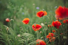 Poppy Flowers And Green Grass ...