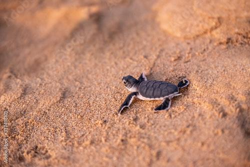 Fotografia, Obraz Baby green sea turtle hatchlings on the beach at sunset Okinawa Japan