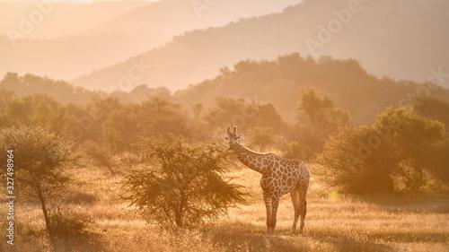 Cape giraffe, Giraffa camelopardalis, walking on savanna against  rocky hills and bright sky Fototapete