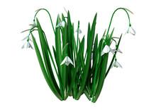 3D Rendering Snowdrop Flowers ...