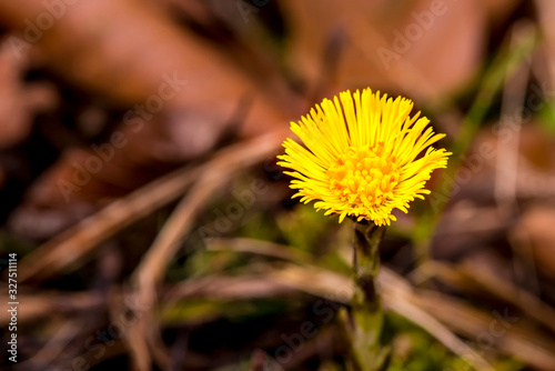Coltsfoot, medicinal herb, flower in spring in a German forest Tapéta, Fotótapéta