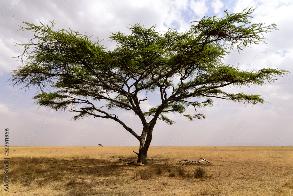 Fototapeta Sleeping lionesses (Panthera leo) under an umbrella acacia, Serengeti National Park, Safari, East Africa, August 2017, Northern Tanzania