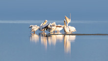 Great White Pelican Group On T...