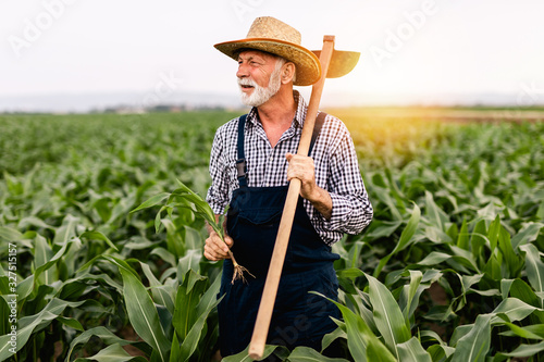 Fotografía Sixty years old beard farmer working in his corn cultivation field