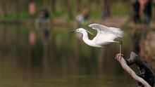 Great White Egret Prepare To J...
