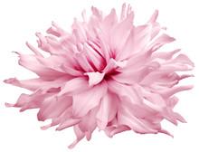 Watercolor Dahlia Flower  Ligh...