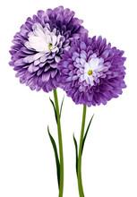 Flowers  Purple Chrysanthemums...