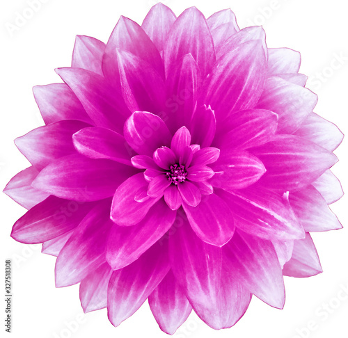 flower  bright pink Dahlia  on a white  background.  Isolated  with clipping path. Closeup. with no shadows.  Nature. - 327518308
