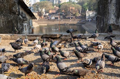 Valokuvatapetti Mumbai, India - Pigeons feats on bird food near Banganga Tank is an ancient wate