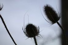 Dry Thistles