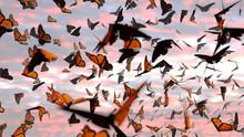 Swarm Of Monarch Butterflies, ...