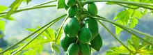 Papaya Fruits Growing On Tree