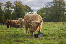 Scottish Cows With Bangs And L...