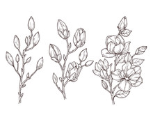 Magnolia Sketch. Art Floral Bl...