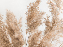 Dry Beige Reed On A White Wall Background. Beautiful Nature Trend Decor. Minimalistic Neutral Concept. Closeup