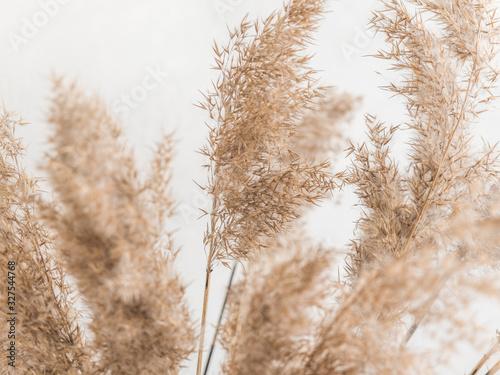 Obraz na plátně Dry beige reed on a white wall background