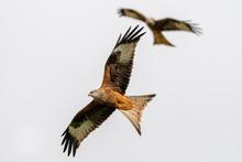 Red Kite (Milvus Milvus) Flyin...