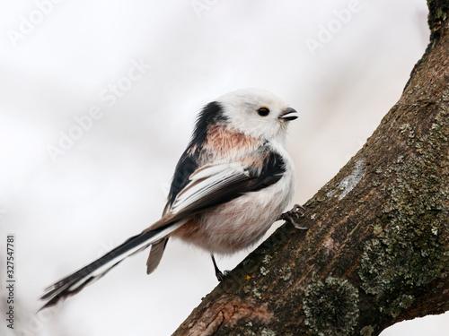 Photo Long-tailed tit aegithalos caudatus sitting on branch of tree with open beak drinking arboreal sap