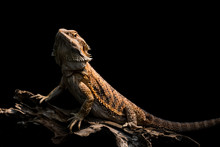Male Bearded Dragon Orange Col...