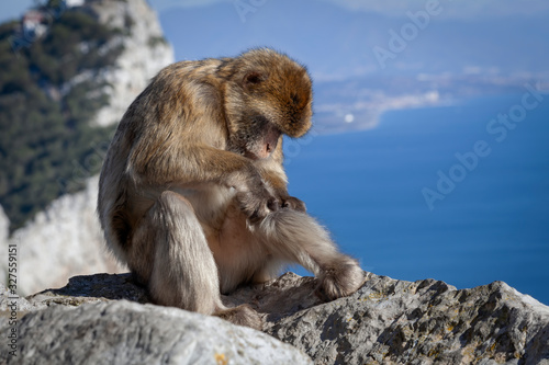 A preening Gibraltar Barbary macaque, considered by many to be the top tourist attraction in Gibraltar Wallpaper Mural