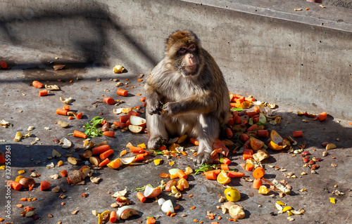The Gibraltar Barbary macaques, considered by many to be the top tourist attraction in Gibraltar Wallpaper Mural