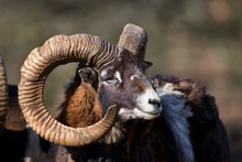 Portrait Of Ovis Aries Musimon European Mouflon, Carpathian Forest, Slovakia, Europe