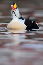 King Eider Duck Male