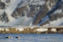 Two Male King Eider Ducks In A...