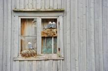 Kittiwake Gulls Breeding On The Wall Of An Abandoned House