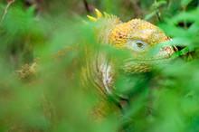 Galapagos Land Iguana In Green...