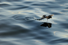 Bird Fly Over Water Surface