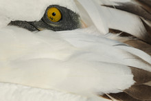 Close Up Of A Masked Booby Bird