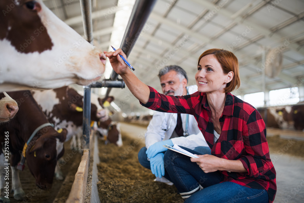 Fototapeta A woman manager and veterinary doctor on diary farm, agriculture industry.