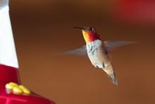Hummingbird Flying Around The Feeder British Columbia, Canada