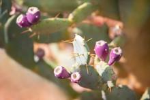 Fruit Cactus - Ficus Indian Opuntia Ficus-indica, Pink Edible Fruit On The Succulent Plant.