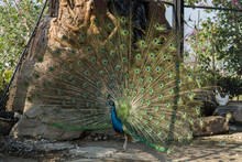 Beautiful Peacock Fanning Its Colorful Tail Feathers