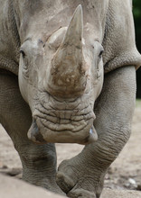 Nashörner (Rhinocerotidae) Angriff, Kopf Frontal