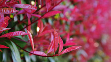 Close-up Young Red Leaves Of Japanese Photinia Foliage Plant (Red Robin Or Redtip Photinia) In Early Spring Season On Blurred Red And Green Nature Hedge Spring Background.