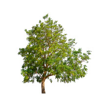 Tree That Are Isolated On A Wh...