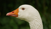 Closeup Of A White Goose (Lipp...