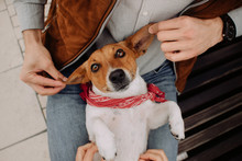 Funny Jack Russell Terrier Dog Portrait On Owners Lap
