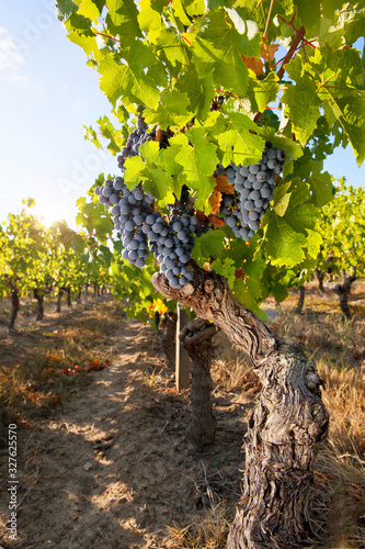 Grappe de raisin noir dans les vigne en été. Fototapete