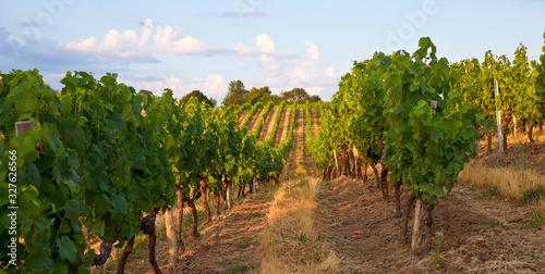 Canvastavla Vigne dans un vignoble en Anjou, France.