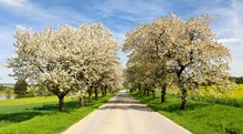 Road And Alley Of Flowering Ch...