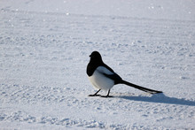 Magpie Sitting On A Snowy Road Close Up